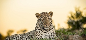 Big Cat Safari im Manyaleti Game Reserve vom 14. - 18. Mai 2018